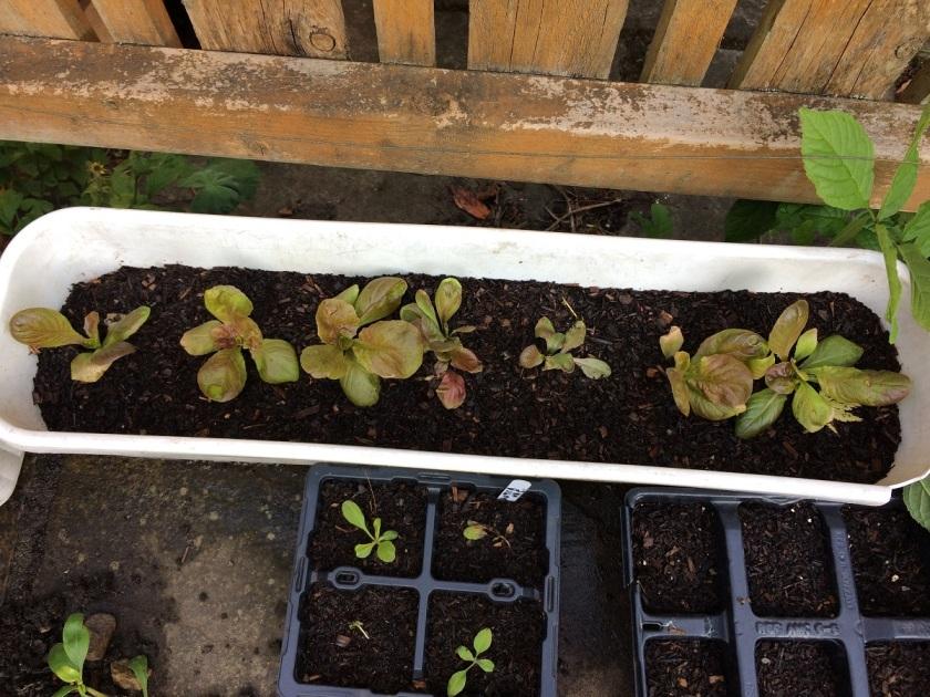 Lesley's lettuce seedlings 2 A