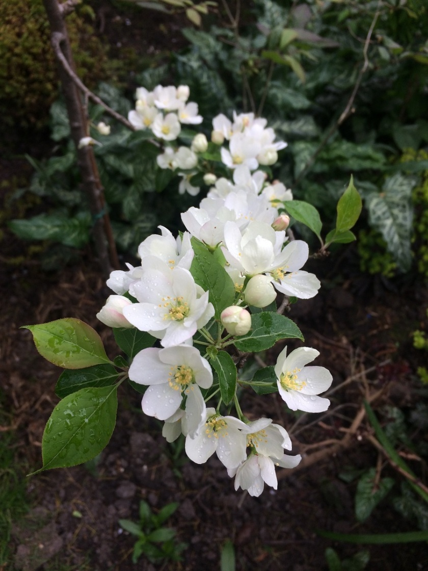 Lesley's Malus brevipes Wedding Bouquet A