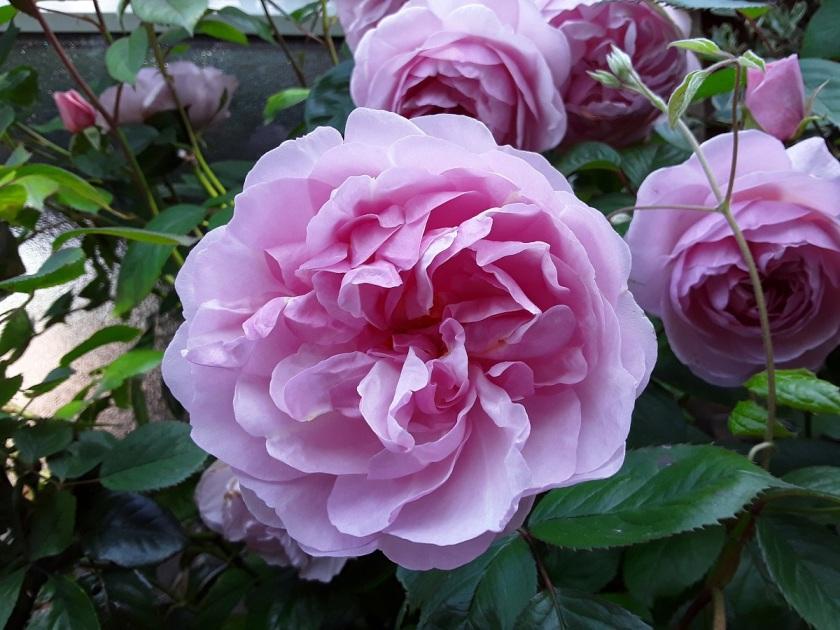 Meg's rose Olivia Rose Austin 2 A