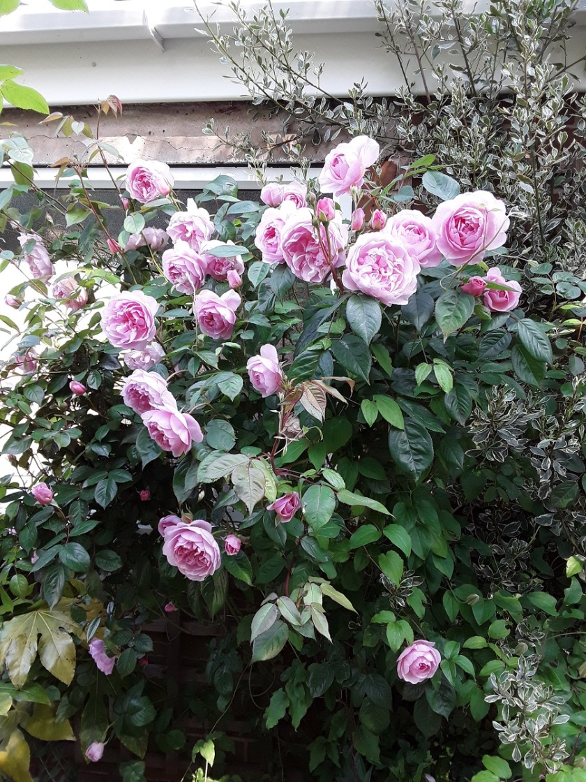 Meg's rose Olivia Rose Austin A