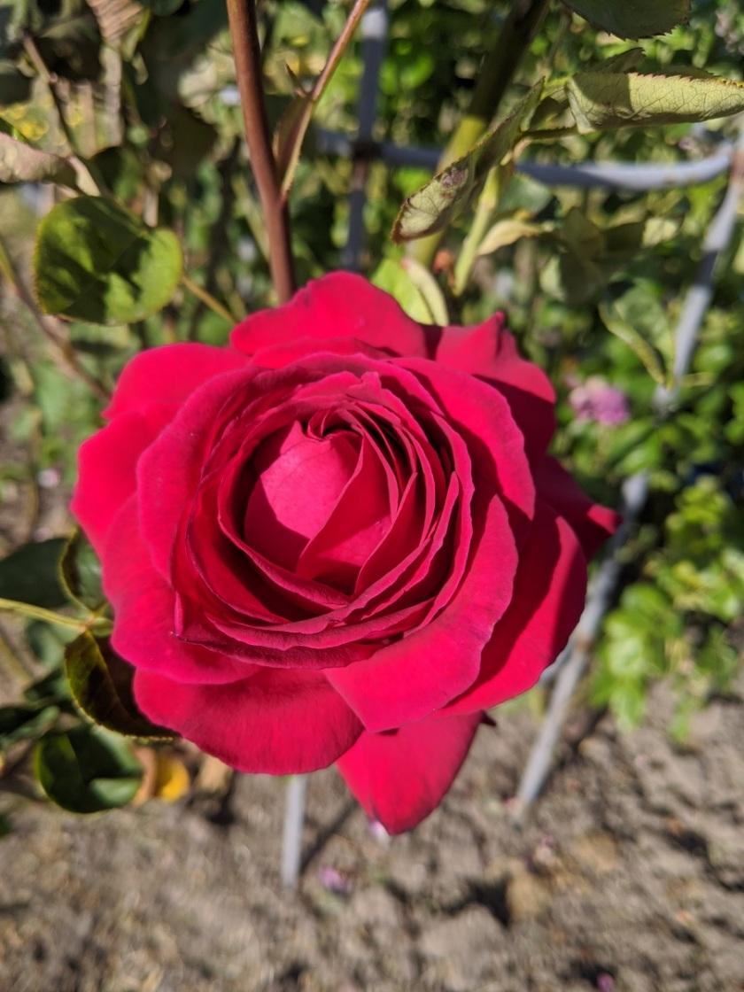 Nat Rose 2 A