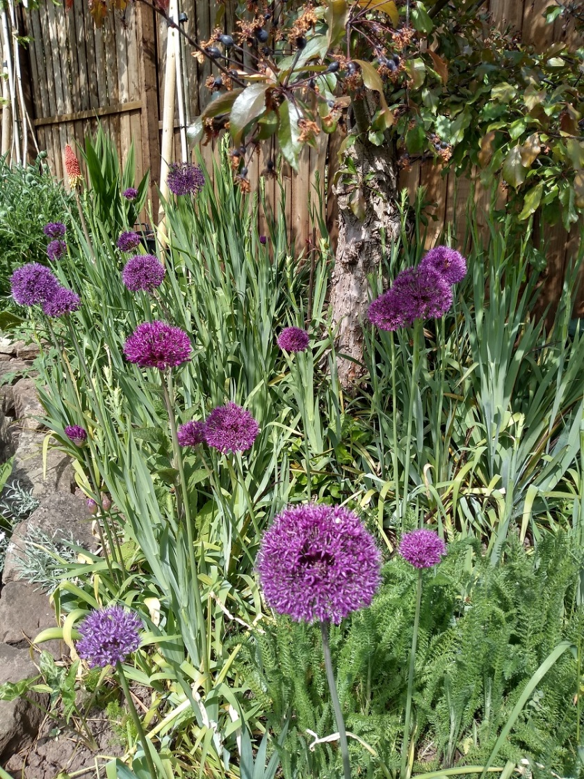 Rob's Allium Purple Sensation A