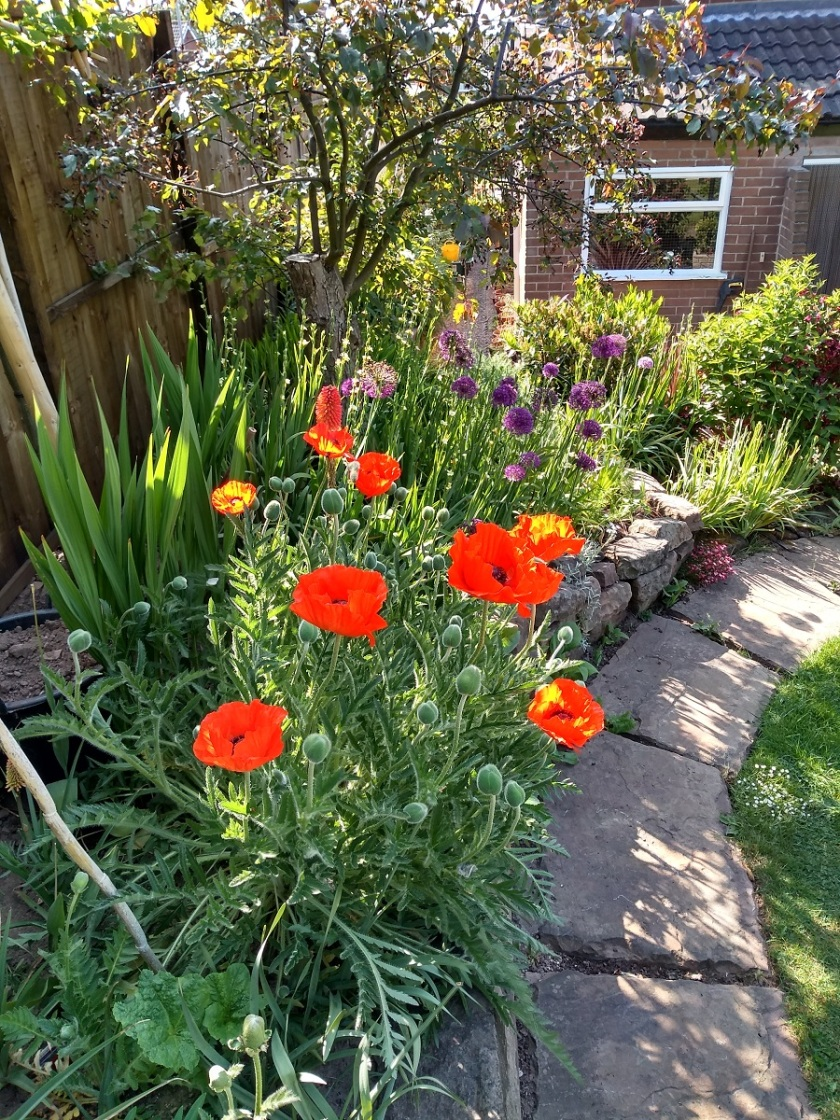 Rob's poppies A