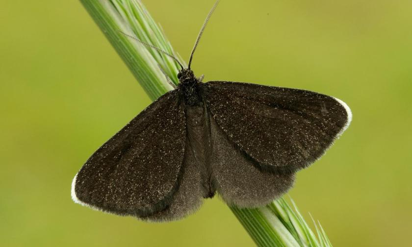Chimney sweeper moth Odezia atrata
