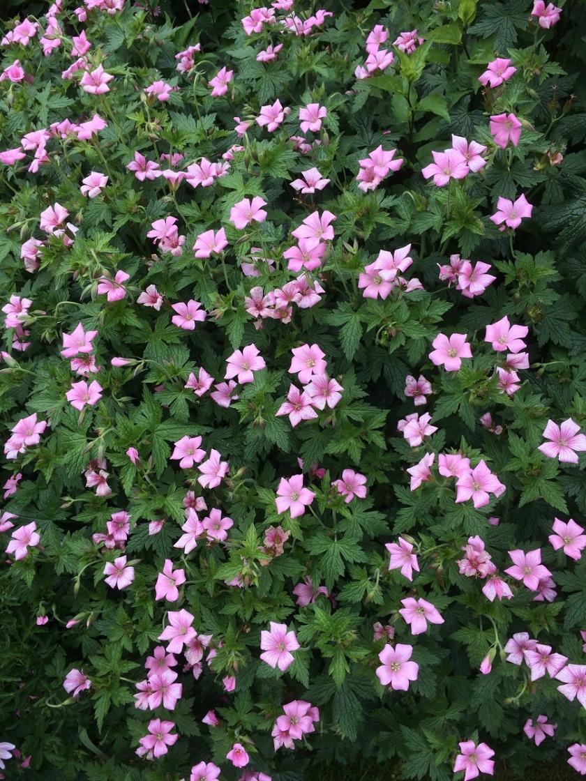 Glynis's geranium 2 A