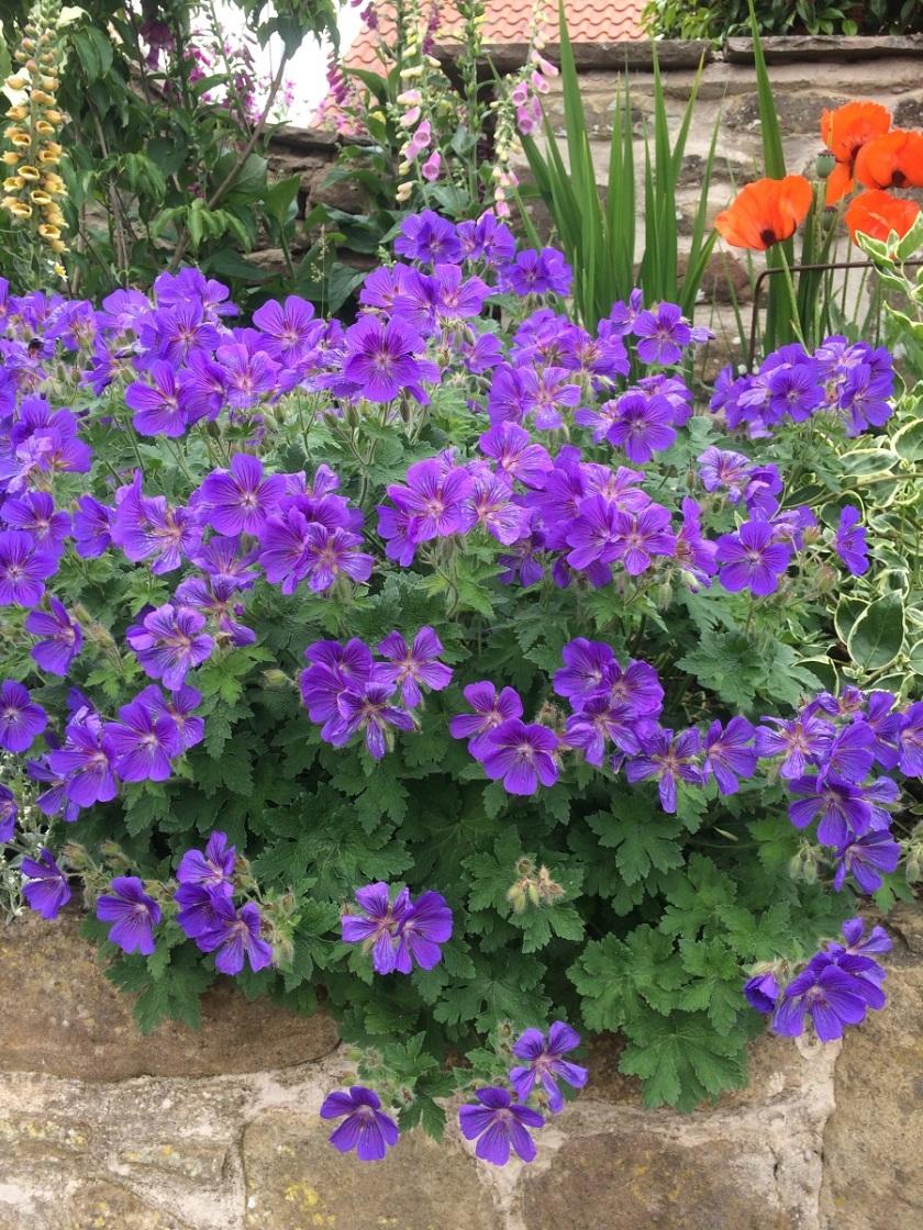 Glynis's geranium 3 A
