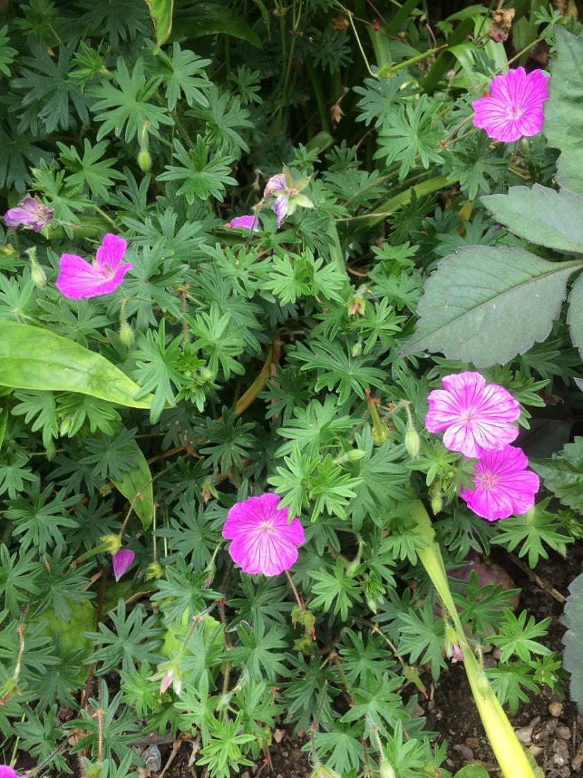 Glynis's geranium 8 A
