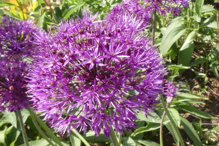 Hugh's allium