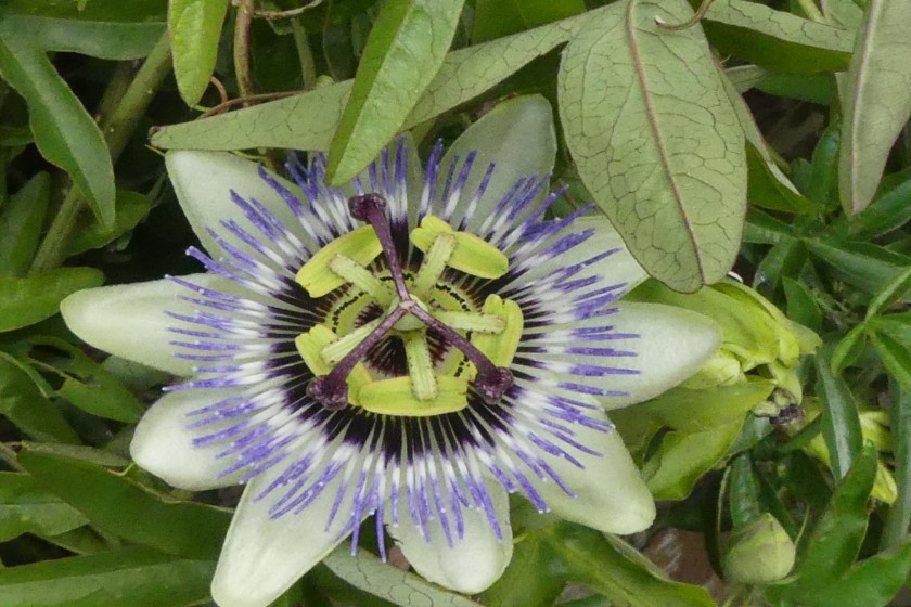 Hugh's Passion flower