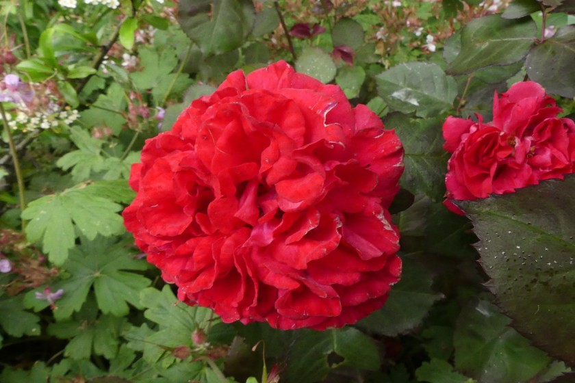Hugh's rose 1
