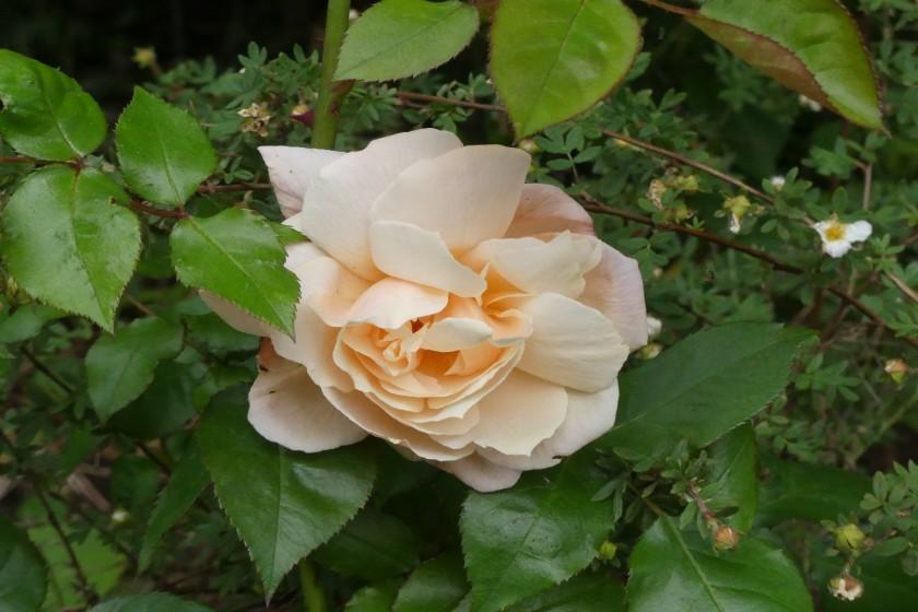 Hugh's rose 2