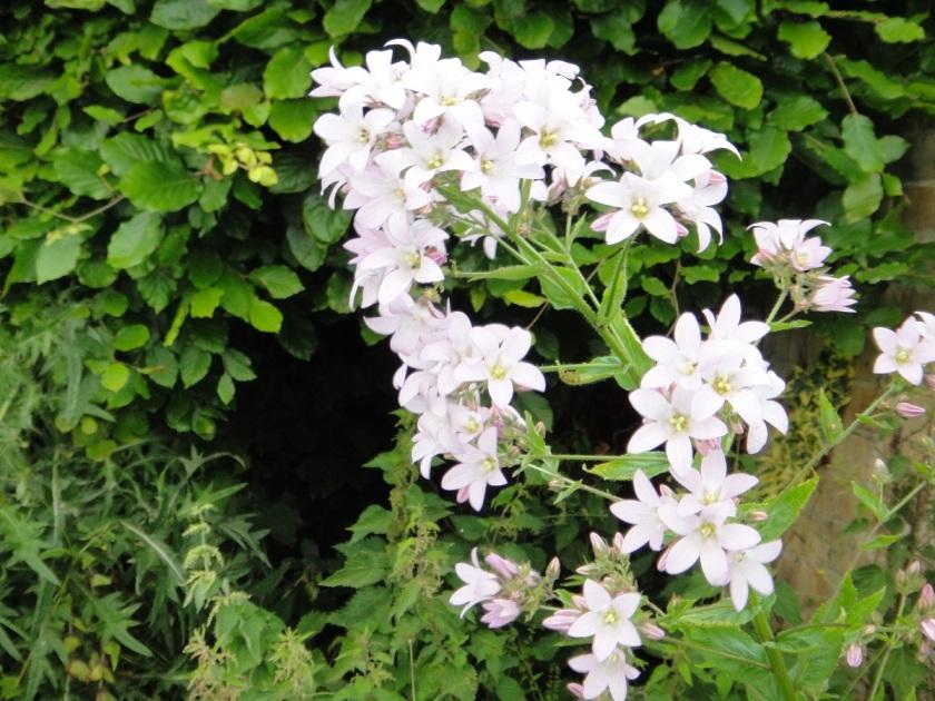 Jo's Campanula lactiflora Loddon Anna