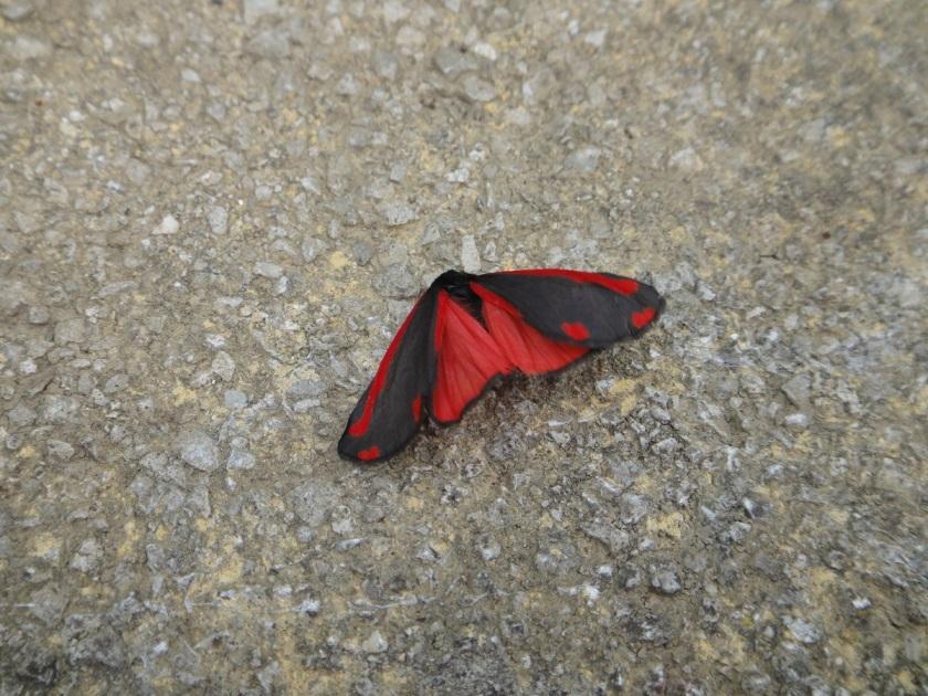 Jo's Cinnabar Moth