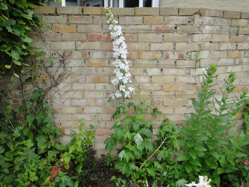 Jo's Delphinium Magic Fountains White 2 A