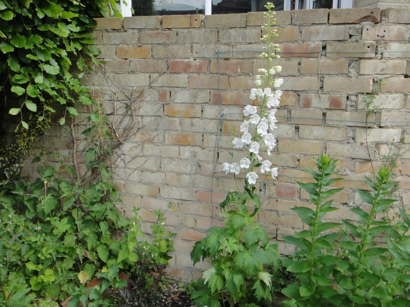 Jo's Delphinium Magic Fountains White delphinium 1 A