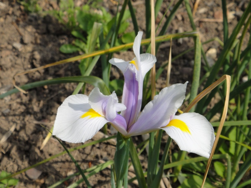 Jo's Dutch Iris Carmen A