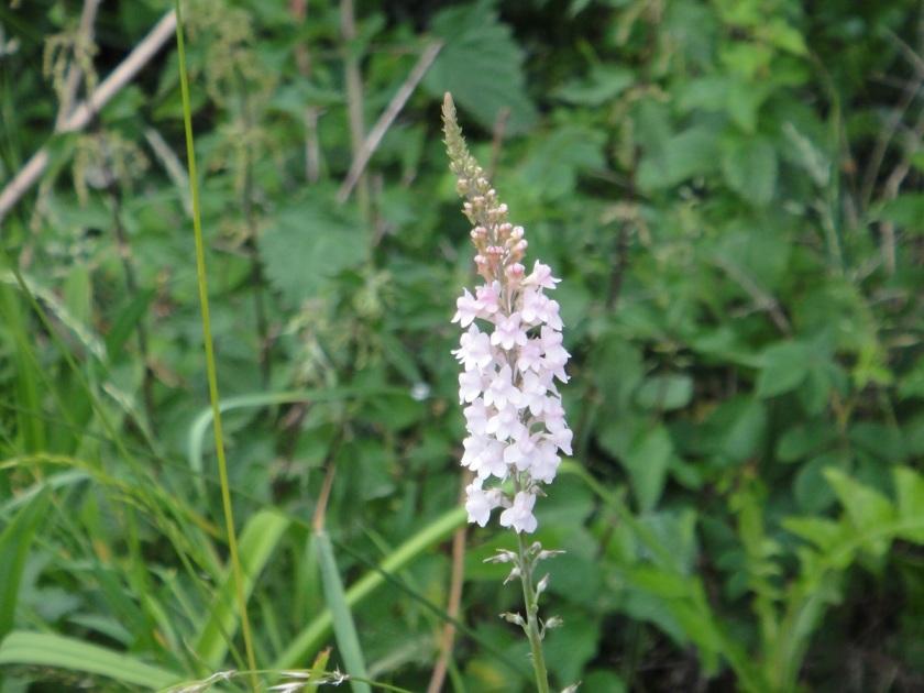 Jo's Linaria purpurea Canon Went