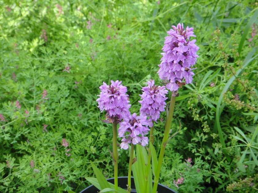 Jo's Marsh Orchid A