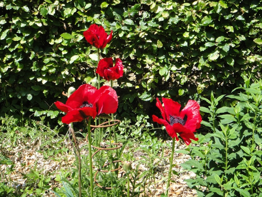 Jo's oriental poppy Beauty of Livermere