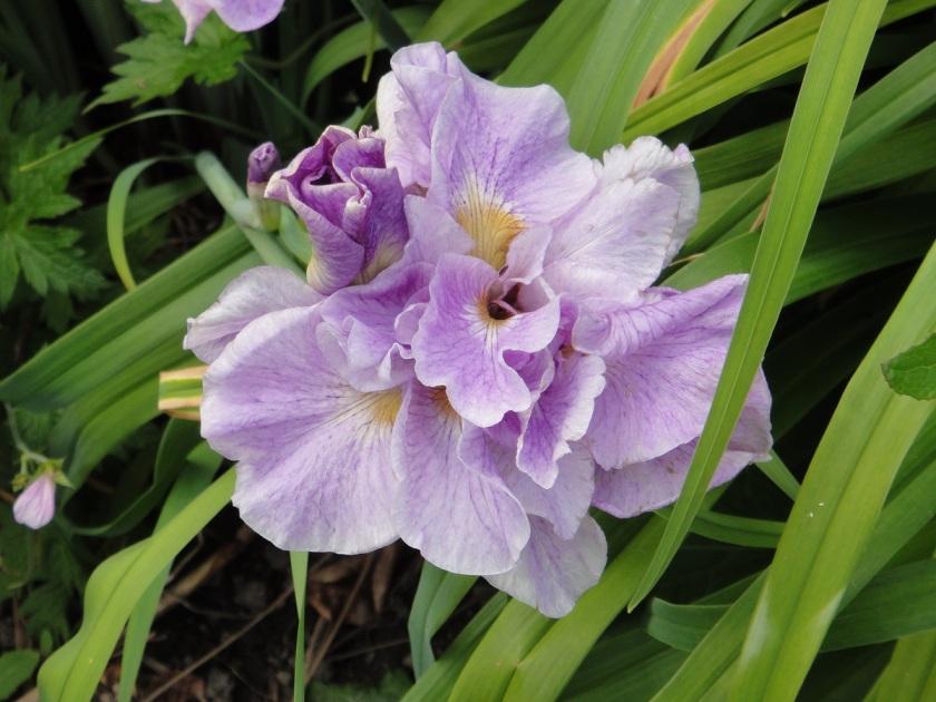 Jo's Siberian Iris Pink Parfait