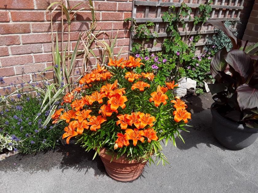 Meg's Asiatic lily A