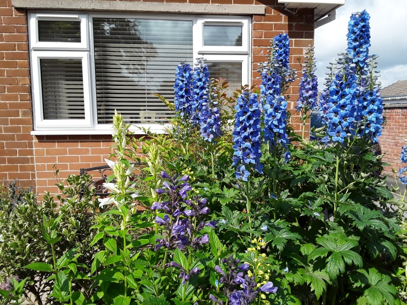 Meg's delphiniums and campanulas A