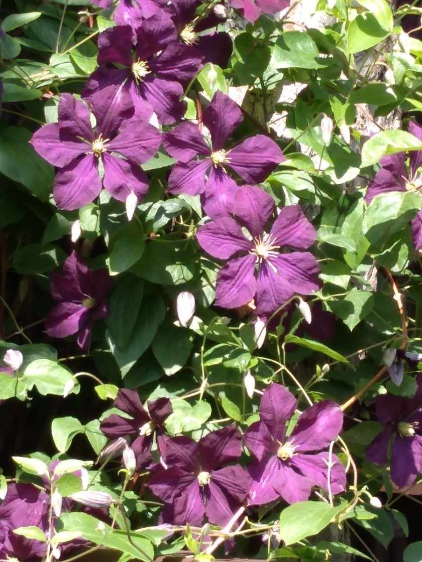 Rob's Clematis Etoile Violette 2 A