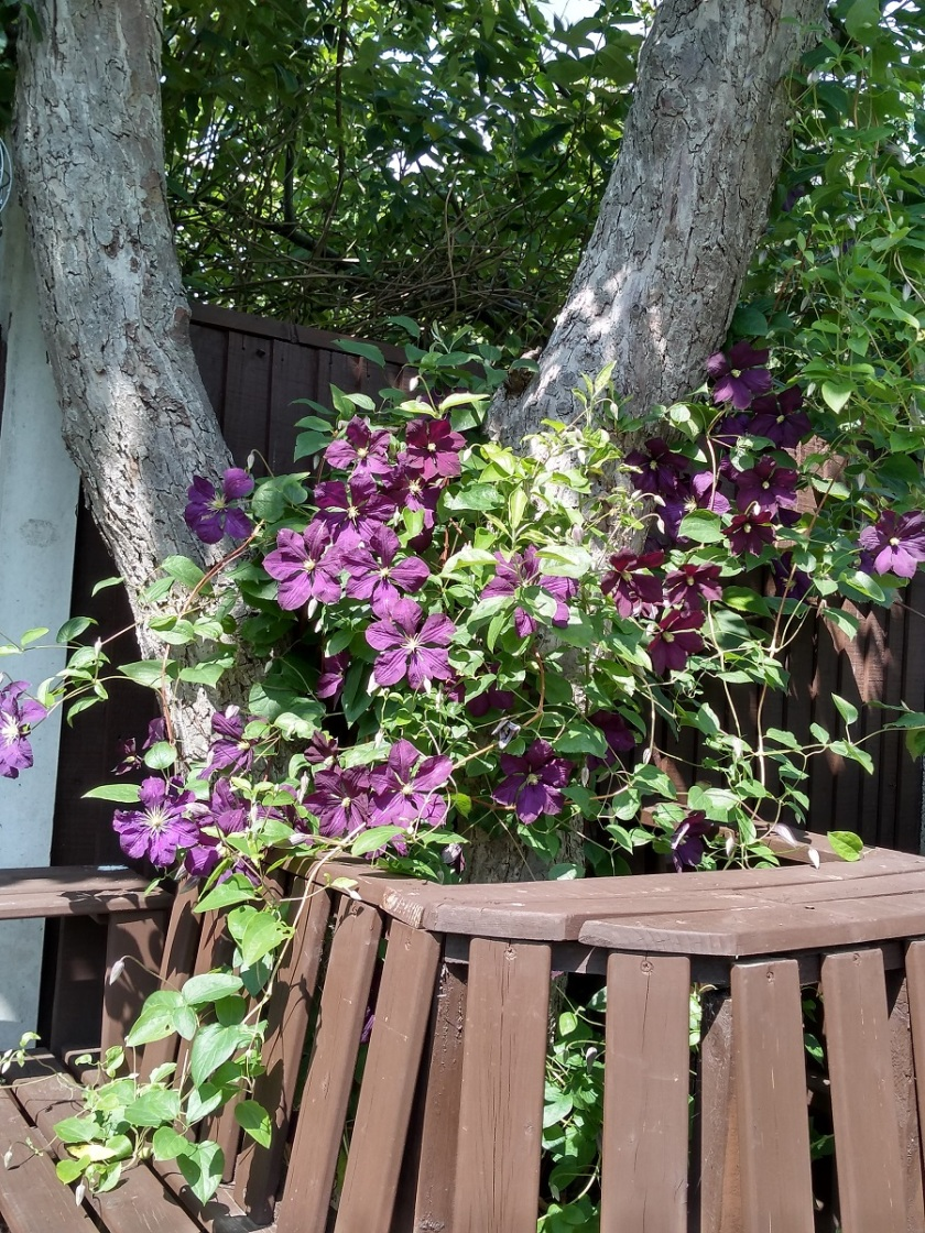 Rob's Clematis Etoile Violette A