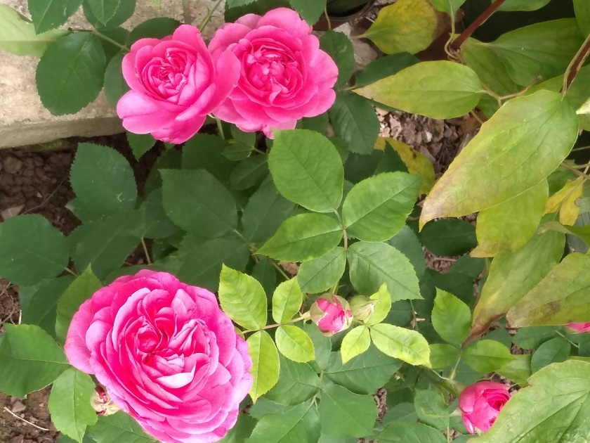 Rob's Gertrude Jekyll A