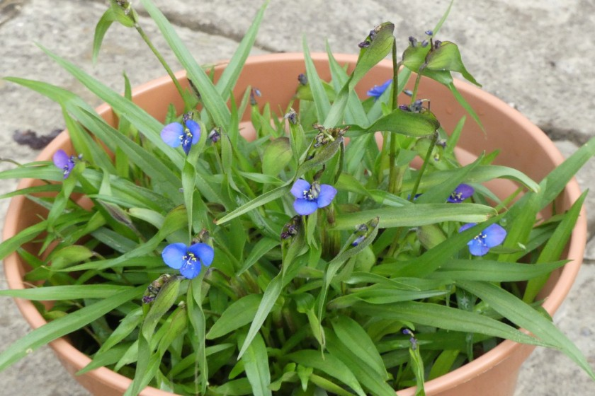 Hugh's commelina