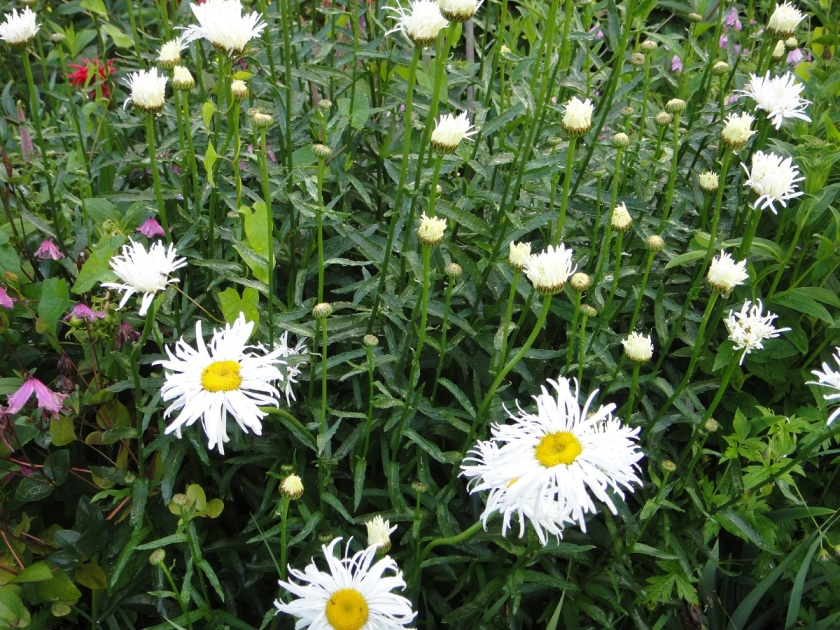 Jo's Leucanthemum Phyllis Smith