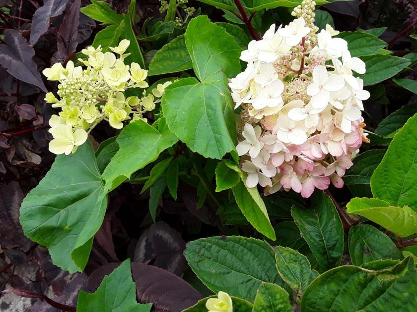 Meg's Hydrangea paniculata Pinky Winky A
