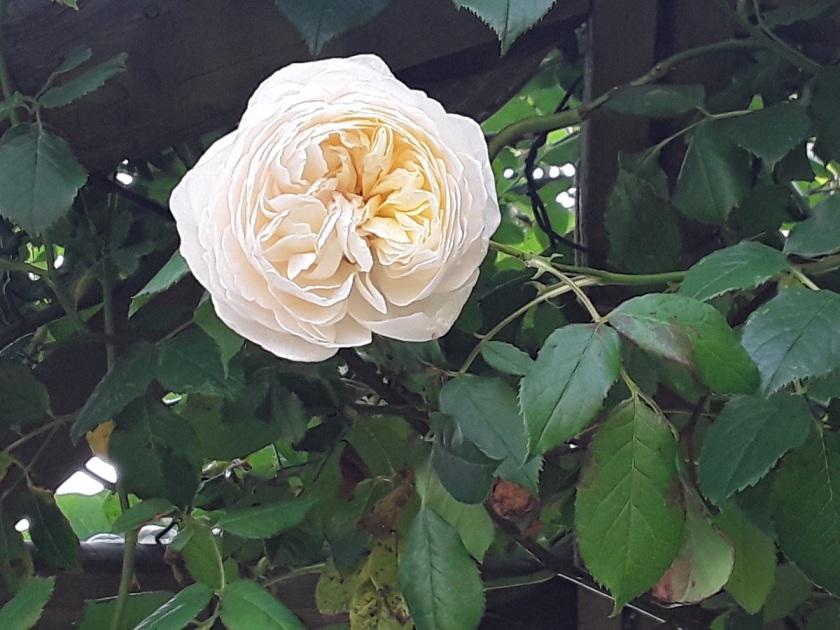Meg's rose Claire Austin 2 A