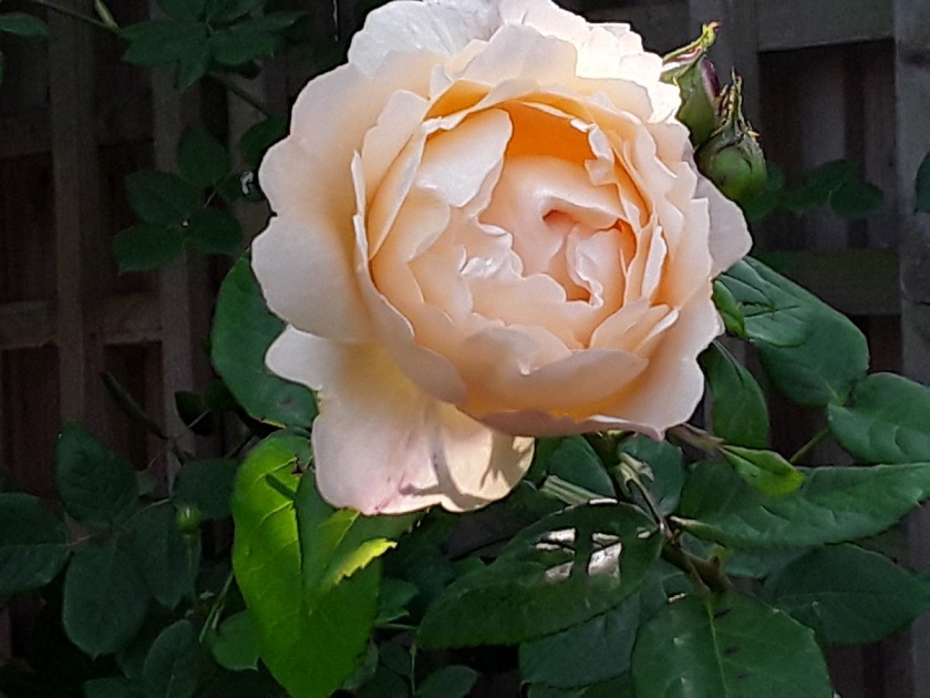Meg's rose Wollerton Old Hall A