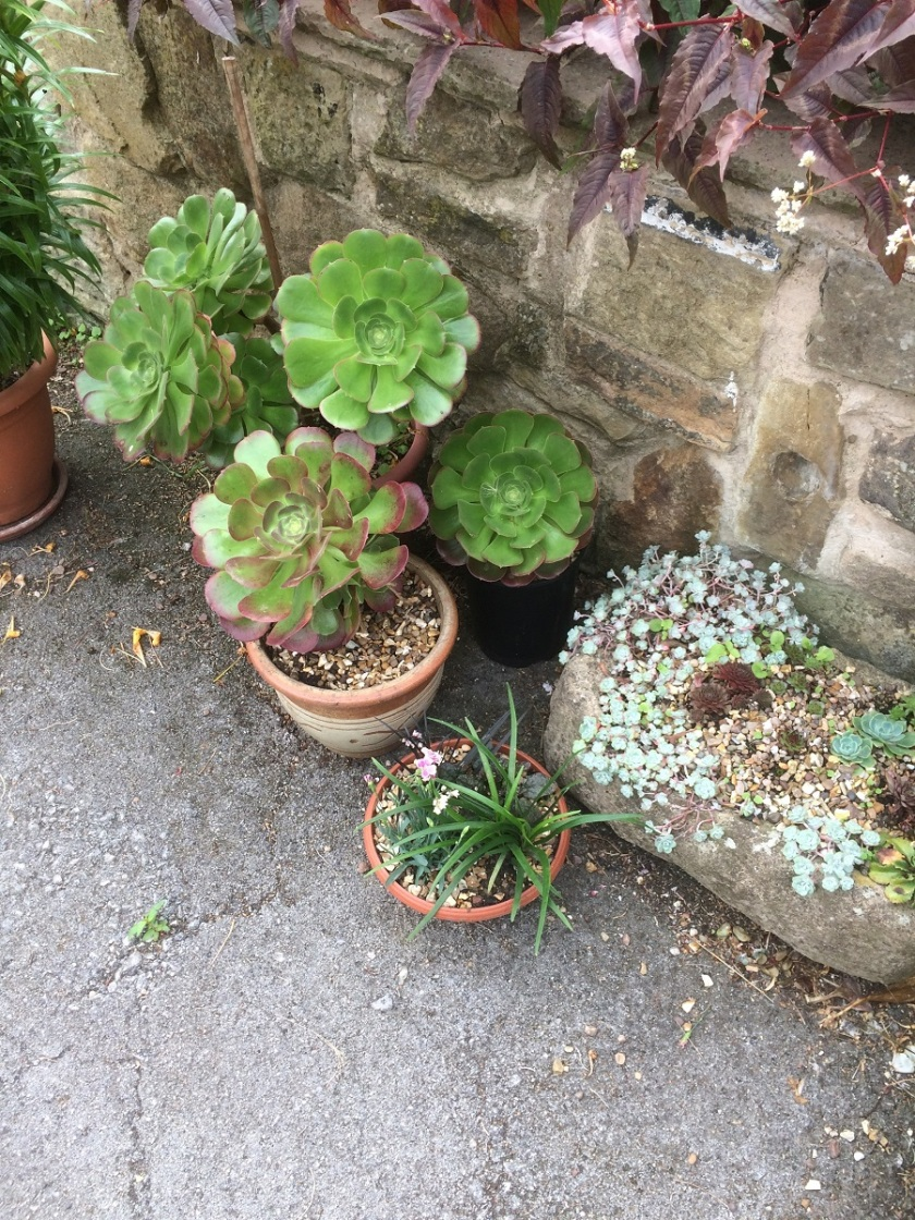 Glynis's Aeoniums plus A