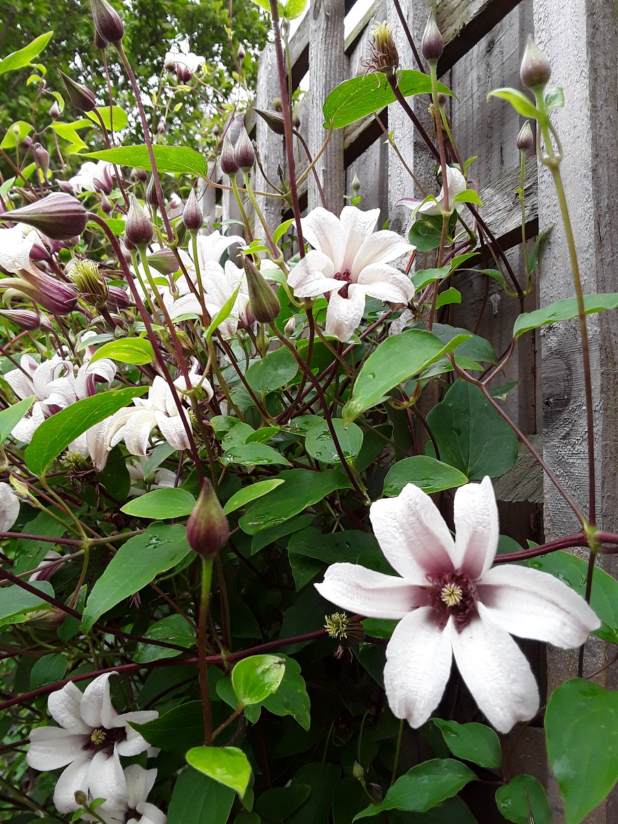 Meg's Clematis Princess Kate A